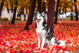 A dog in red leaves