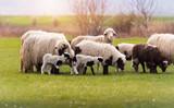 Herd of sheep on pasture - meadow in spring - 199567686