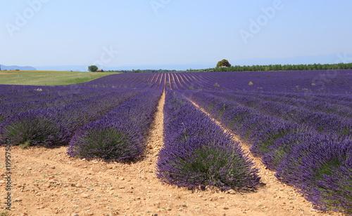 Fotobehang Lavendel Champ de lavandin des hauts plateaux du Lubéron