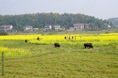 Fotobehang Pistache Dongting raw field rape flower scenery.