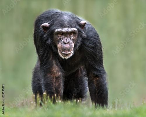 Chimpanzee XXXII - 199592482