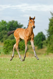 Trakehner colt foal, 6 weeks old, at a trot in a field, Germany  - 199596880