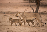 A lioness walks on the red dunes of the kalahari desert with her two six month old cubs in the Kgalagadi Transfrontier Park, South Africa