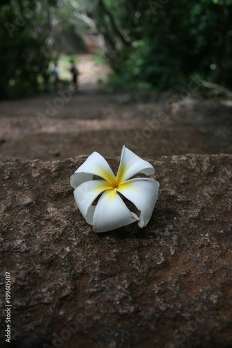 Fotobehang Plumeria flor