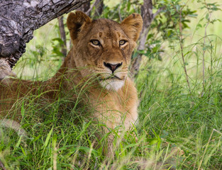 Lioness in shade