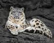 Resting Snow Leopard