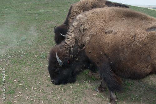 Aluminium Bison Grazing Buffalo