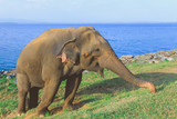 big Asian elephant stands near the ocean