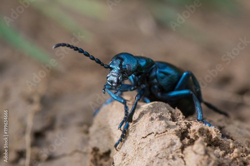 Fotobehang Gras Black oil beetle (Meloe proscarabaeus) female. European beetle in the family Meloidae, a nest parasite of solitary bees