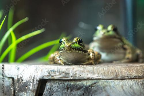 Bullfrog, Rana Lithobates catesbeiana in water. American.