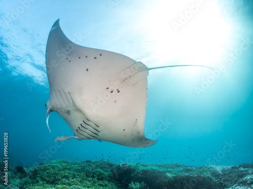 Belly shot, Oceanic Manta Ray, Raja Ampat Indonesia