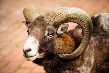 mouflon wild goat animal portrait