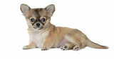 Dog of breed Chihuahua isolated on white background.