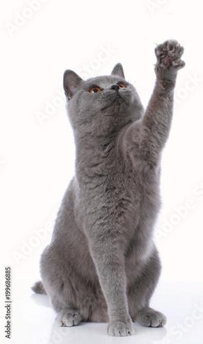 Blue british shorthair cat lifting up its paw - 199686885