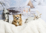 Chihuahua sitting on fur rug in winter scene