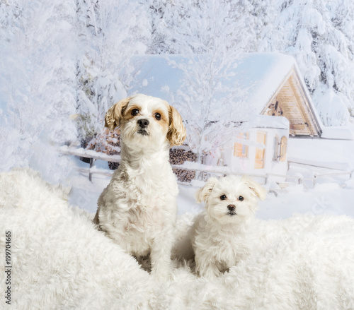 Two Shih Tzu's sitting on white rug against winter scene