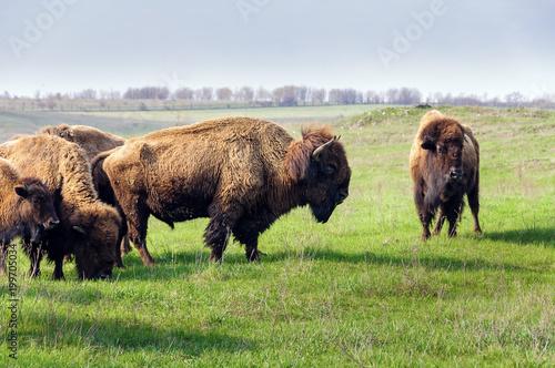 Aluminium Bison Bison. Herd of grazing buffalo.
