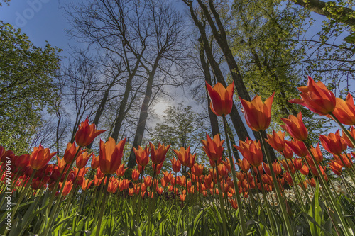 Foto op Aluminium Klaprozen Tulpen