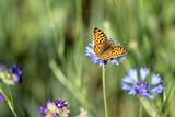 Schmetterling auf einer Kornblume auf einer Wiese