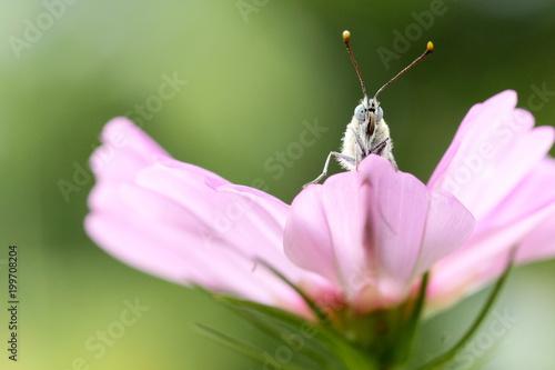 Schmetterling von vorn auf rosa Blütenblättern - 199708204