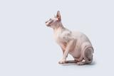 Sphynx Hairless Cat - 199712488