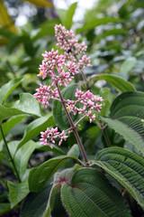 Schwarzmundgewächs (Melastomataceae)