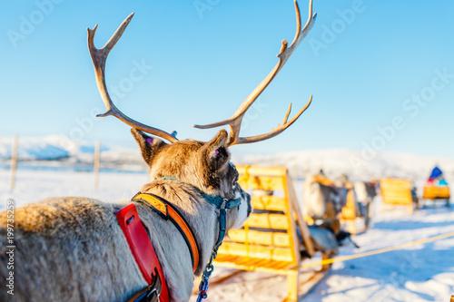 Fotobehang Pool Reindeer in Northern Norway