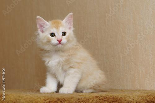 Śliczna czerwona figlarka siedzi w domu. Długowłosa rasa kotów. Życie domowe zwierząt domowych