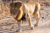 lions parade at kapama game reserve - south africa - safari