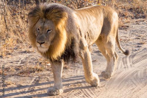 Plexiglas Lion lions parade at kapama game reserve - south africa - safari