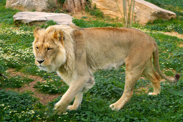 Single male Angola Lion, Panthera leo bleyenberghi, in a zoological garden