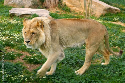 Plexiglas Lion Single male Angola Lion, Panthera leo bleyenberghi, in a zoological garden