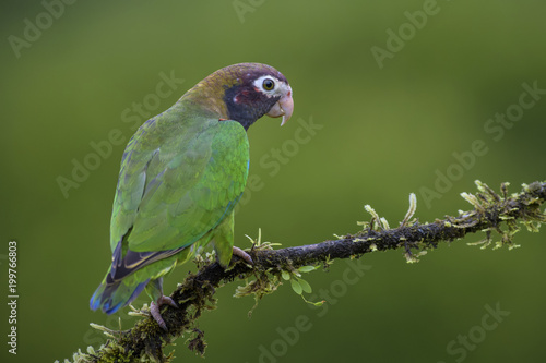 Brown-hooded Parrot - Pyrilia haematotis, beatiful colorful parrot from Central America forest Costa Rica.