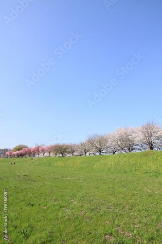 Fotobehang Pistache Cherry blossoms on Katsuragawa river bank