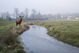 Red deer stag in Cold misty Winter landscape over stream in English countryside