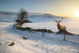 Red deer stag in beautiful Snow covered Winter landscape at sunrise