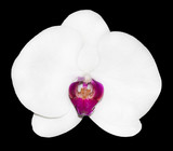 Isolated white orchid flower on black background