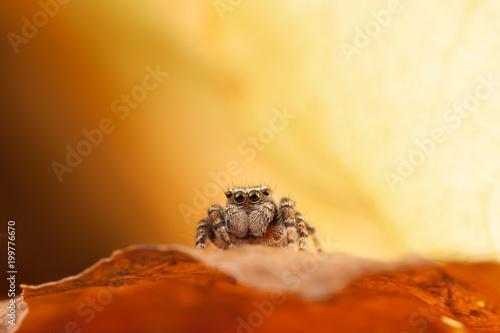 Fototapeta Jumping spider on the autumn leaf in nice orange background