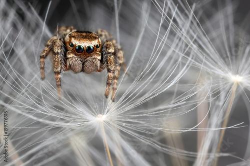 Plexiglas Paardenbloemen Jumping spider on the dandelion fluff