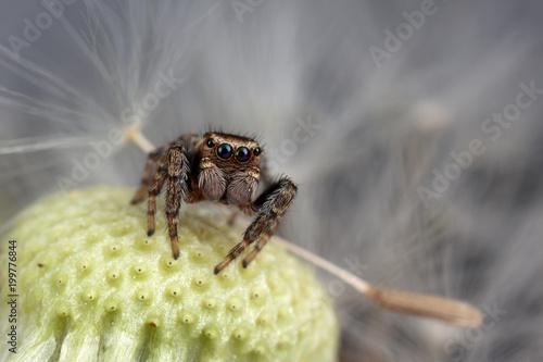 Fotobehang Paardenbloemen Jumping spider and dandelion seed