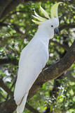 Colorful white parrot sitting on a tree australia