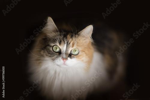 piękny europejski kot