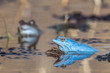 Moor frogs when mating. The male moor frogs turn to mating blue..Concept: animals and mating