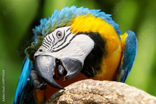 Plexiglas Papegaai Blue-and-yellow macaw (ara araruna) sittin on the perch