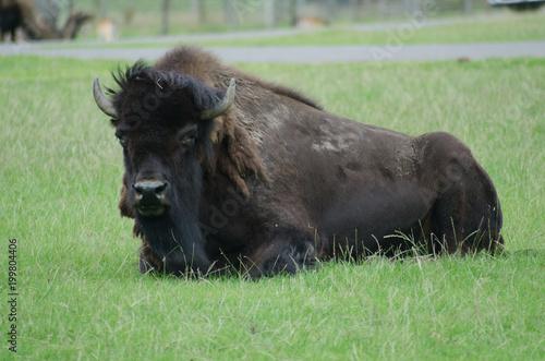 Aluminium Bison bison
