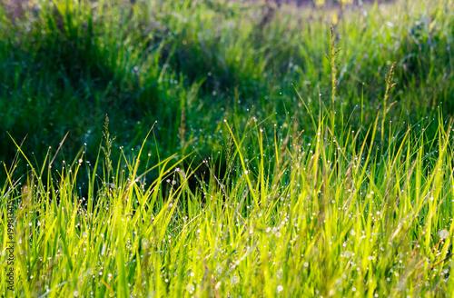 Fotobehang Gras grass in morning dew drops