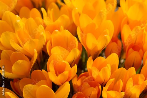 View of magic blooming spring flowers yellow crocus growing in wildlife.