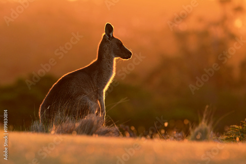 Foto Spatwand Kangoeroe Forester (Eastern grey) Kangaroo, Macropus giganteus, Jumping, Tasmania, Australia, Sunset, Night photo