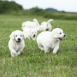 Beautiful group of golden retriever puppies running