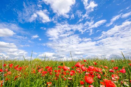 Foto op Aluminium Klaprozen Champ de coquelicots au printemps, ciel bleu avec de beaux nuages, Provence, France..